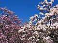 Magnolias at National Arboretum (25996507685).jpg
