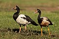 Magpie Goose - East Point.jpg