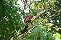 Malabar giant squirrel gavi.jpg
