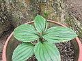 Malaxis versicolor-orchids-yercaud-salem-India 02.JPG