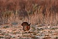 Male Lesser Prairie Chicken, Yoakum County by Trisha Williams (24998509242).jpg