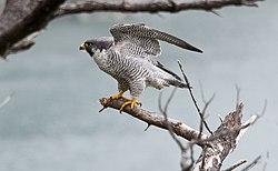 Male Peregrine Falcon (7172188034).jpg