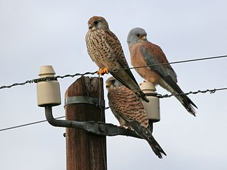 Lesser kestrel - Male (right) and females