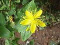 Malfurada (Hypericum grandifolium).jpg
