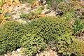 Malta - Ghajnsielem - Comino - Euphorbia melitensis 01 ies.jpg