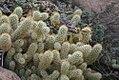 Mammillaria elongata 0zz.jpg