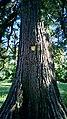Mammutbaum Baden Mühlgasse 50 1.jpg