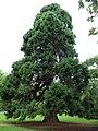Mammutbaum im Farwickpark - panoramio.jpg