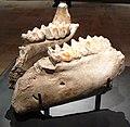 Mammuthus jaw.jpg