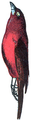 Manakin (Millot-1907).png