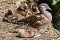 Mandarin Duck (Aix galericulata) Mother with Ducklings in Grovelands Park, London.jpg