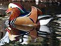 Mandarin Duck at Richmond Park.jpg