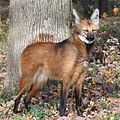 Maned Wolf 7, Beardsley Zoo, 2009-11-06.jpg