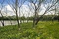 Mangrove beside lake.jpg