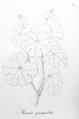Manihot quinqueloba Pohl14.png