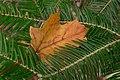 Maple in Evergreen (2920858634).jpg
