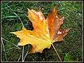Maple leaf - panoramio.jpg