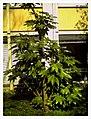March Spring Aralia Botanischer Garten Freiburg - Master Botany Photography 2013 - panoramio.jpg