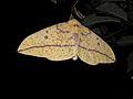 Mariposa (Eacles imperialis).jpg