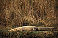 Marsh Crocodile (Crocodylus palustris) (20037587593).jpg