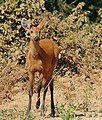 Marsh Deer (Blastocerus dichotomus) doe on the road ... (31560846581).jpg