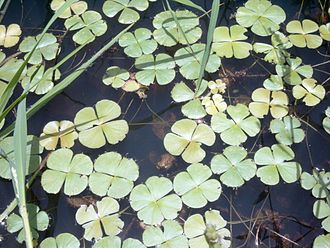Marsileaceae - An African species of Marsilea with floating leaves.
