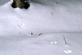 European pine marten - Image: Martes.martes.tracks .on.snow