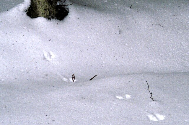 Martes.martes.tracks.on.snow