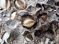 Martesia striata bivalves in wood borings (driftwood on marine beach, Cayo Costa Island, Florida, USA) 20 (26173624435).jpg
