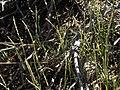 Mat muhly, Muhlenbergia richardsonis (16320390228).jpg