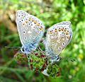 Mating Common Blues - Flickr - gailhampshire.jpg
