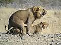 Mating Lion, Etosha National Park, Namibia.jpg