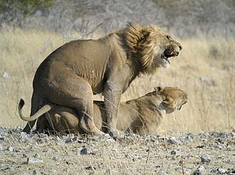 Copulation (zoology) - Image: Mating Lion, Etosha National Park, Namibia