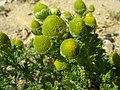 Matricaria discoidea flower (09).jpg