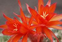 Matucana intertexta flowers