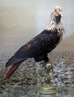 Mauritius Blue Pigeon national museum of scotland.JPG