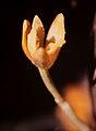 Maxillaria discolor - fl 1.jpg