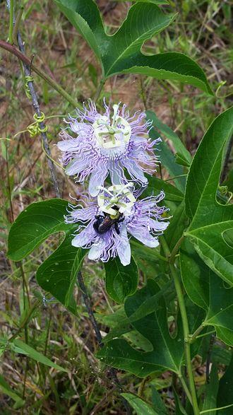 Passiflora incarnata - Passiflora incarnata