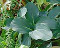 Medinilla magnifica, Centennial Park Conservatory.jpg