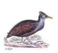 Megapodius forsteni - 1820-1860 - Print - Iconographia Zoologica - Special Collections University of Amsterdam - UBA01 IZ16900153.png