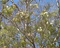 Melaleuca trichostachya flowers and foliage.jpg
