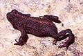 Melanophryniscus dorsalis01.jpg
