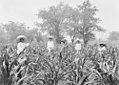 Men Standing in Corn Field (25635257193).jpg