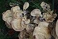 Meripilus giganteus 51456411.jpg