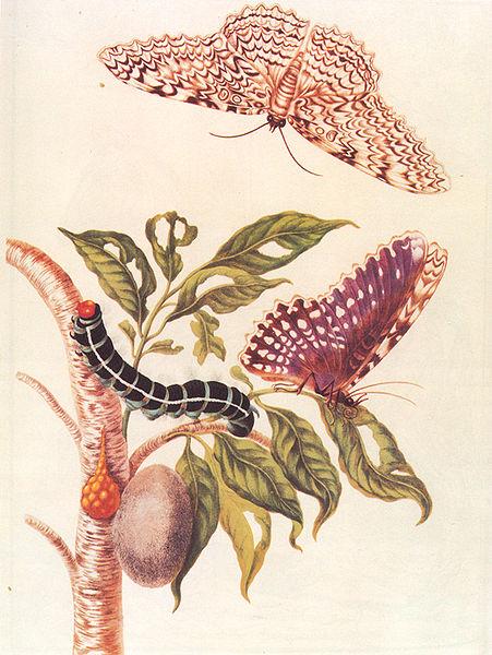 File:Metamorphosis of a Butterfly Merrian 1705.jpg