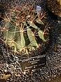 Mexican lime cactus - Ferocactus pilosus.jpg