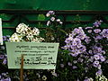 Michaelmas daisy or Aster amellus from Lalbagh Flowershow - August 2012 4717.JPG