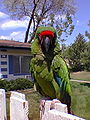 Military Macaw (Ara militaris) -on garden fence.jpg