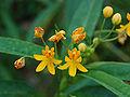 Milkweed Asclepias curassavica 'Silky Gold' Flowers 2400px.jpg