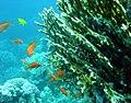 Millepora fire coral.JPG